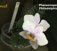 Phalaenopsis_Philadelphia<br>