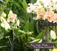 Phalaenopsis_Pine_Ridge_Cockleshell'<br>