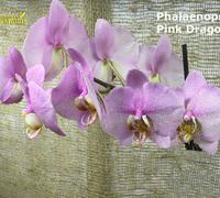 Phalaenopsis_Pink_Dragon<br>