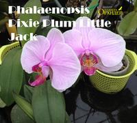 Phalaenopsis_Pixie_Plum_Little_Jack<br>