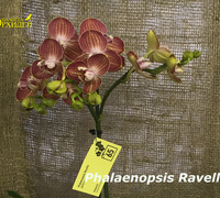 Phalaenopsis_Ravello_(2)<br>