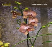Phalaenopsis_Ravello<br>