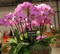 Phalaenopsis_Rio_Grande<br>