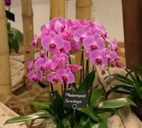 Phalaenopsis_Sarabaya<br>