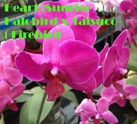 Phalaenopsis_Shiuh-Dong_Sweet_Heart_(Sunrise_Halobird_x_Taisuco_Firebird)_<br>
