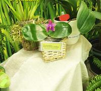 Phalaenopsis_Sogo_Kaiulani_x_bellina<br>