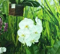 Phalaenopsis_Sogo_Yakidon<br>