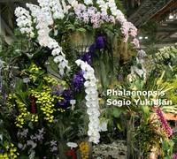 Phalaenopsis_Sogo_Yukidian<br>