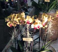 Phalaenopsis_Solet_Gold<br>
