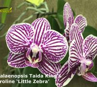 Phalaenopsis_Taida_King's<br>