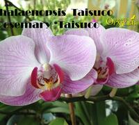 Phalaenopsis_Taisuco_Rosemary_'Taisuco<br>