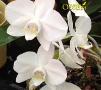 Phalaenopsis_Timothy_Christopher<br>