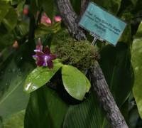 Phalaenopsis_Tying_Fly_Eagle<br>