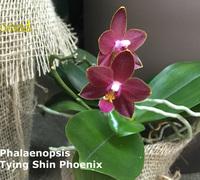 Phalaenopsis_Tying_Shin_Phoenix<br>