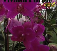 Phalaenopsis_Vivaldi_Purple<br>