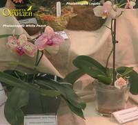 Phalaenopsis_White_Peach<br>