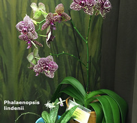 Phalaenopsis_Wild_Cat<br>