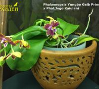 Phalaenopsis_Yungbo_Gelb_Princess_x_Phal._Jogo_Kaiulani<br>