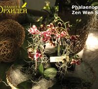 Phalaenopsis_Zen_Wen_Sen<br>