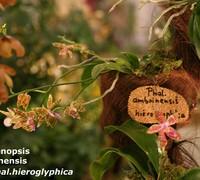 Phalaenopsis_amboinensis_x_Phal._hieroglyphica<br>