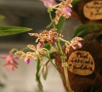 Phalaenopsis_amboinensis_x_hieroglyphica<br>