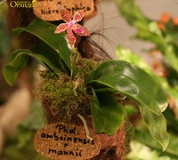 Phalaenopsis_amboinensis_x_mannii<br>