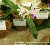 Phalaenopsis_equestris_x_tetraspis_alba<br>