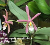 Phalaenopsis_manii_black_x_schilleriana<br>