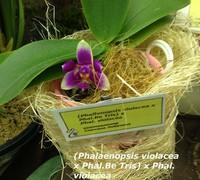 Phalaenopsis_violacea_x_Phal._Be_Tris)_x_Phal._violacea<br>