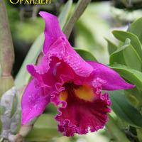 фото Каттлеи крупноцветковой