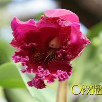 Каттлея крупноцветковая