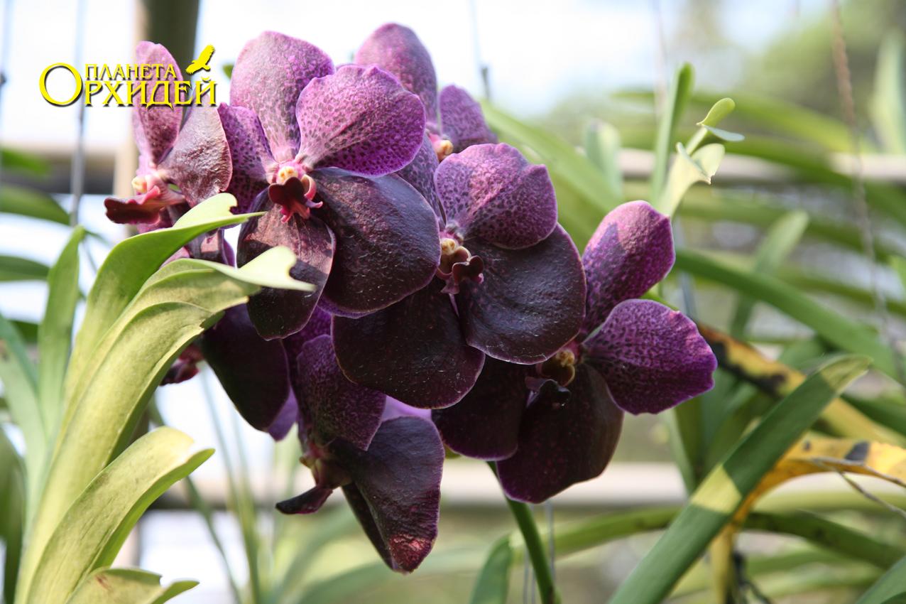 фото орхидеи Ванда