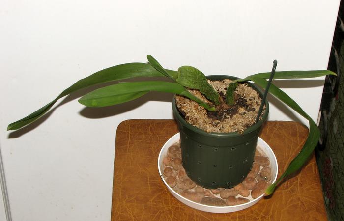 Уход за орхидеями в домашних условиях болезни