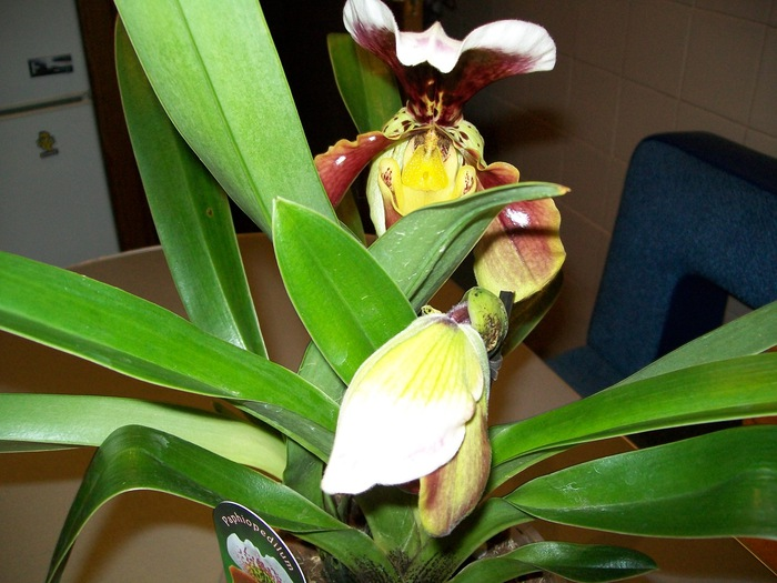 Уход за орхидеей в домашних условиях вредители