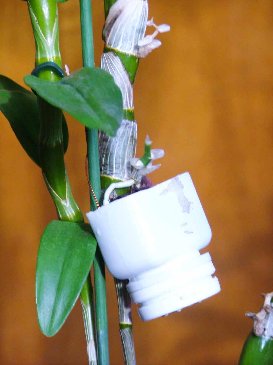 Размножение дендробиума - подробное описание с фото - Цикас 13