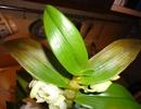 фото Dendrobium nobile.