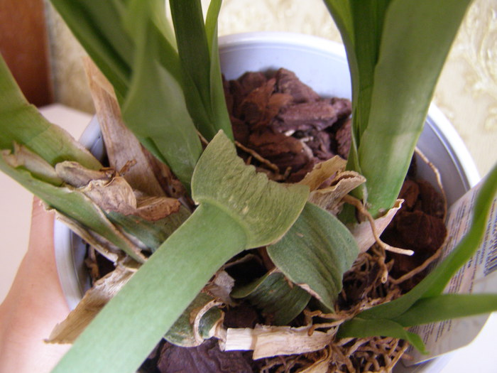 Пересадка камбрии в домашних условиях