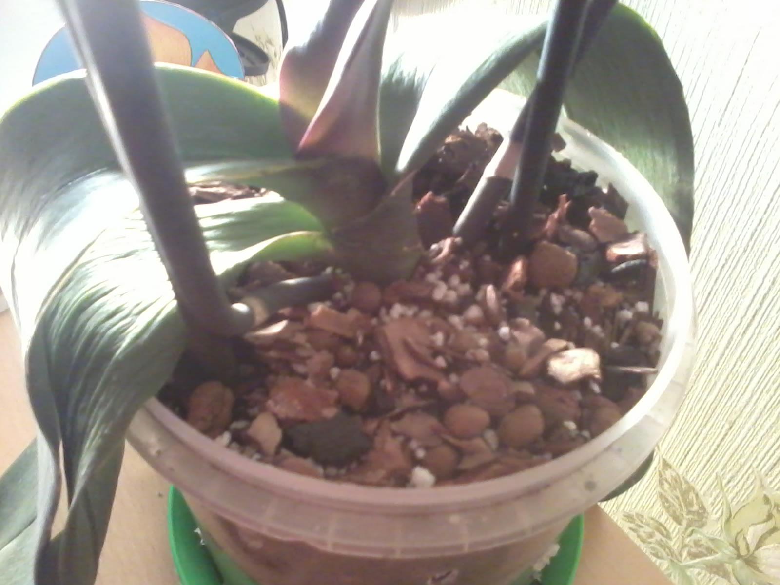 Что делать если у орхидеи вянут листья фото