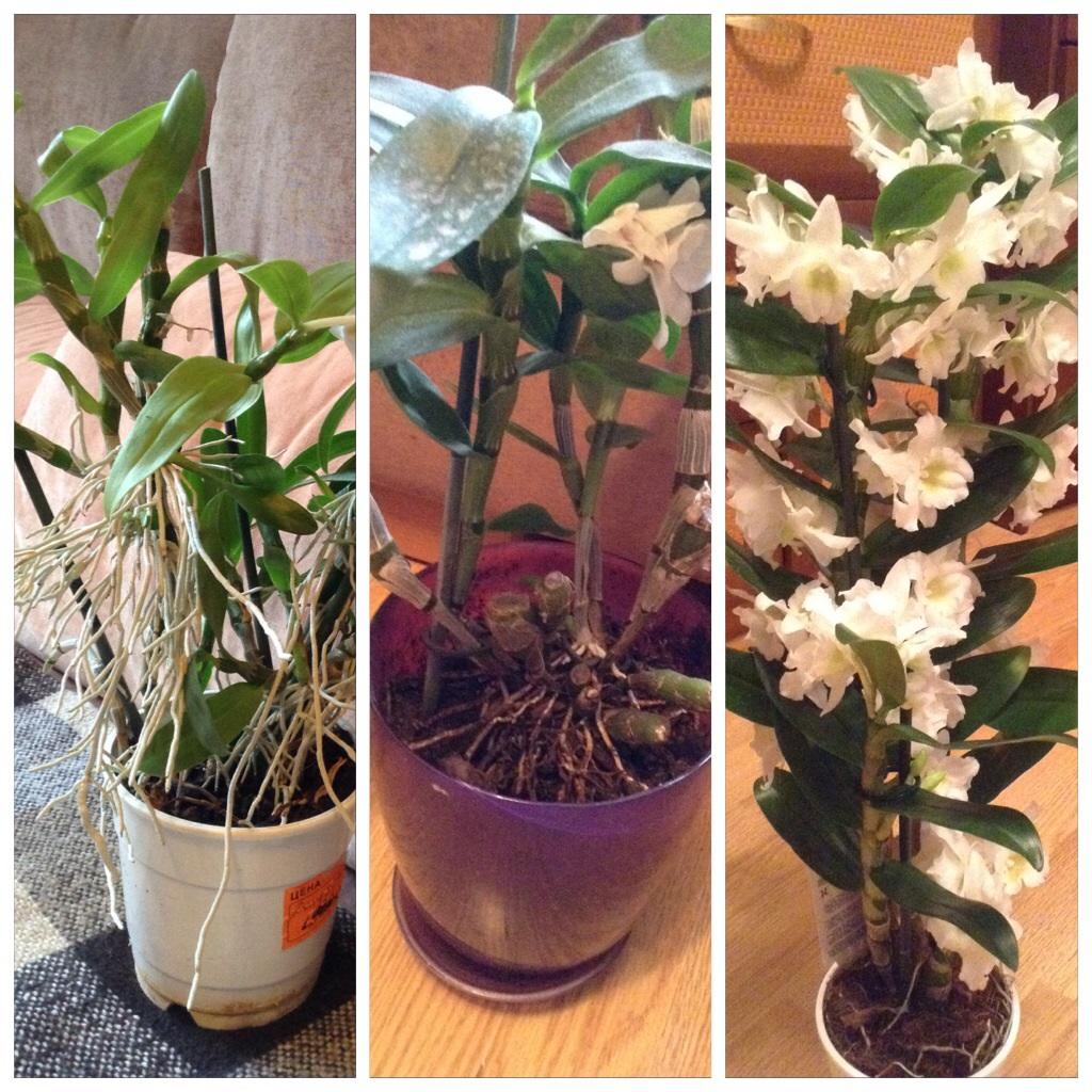 Размножение орхидеи дендробиум в домашних условиях пошагово