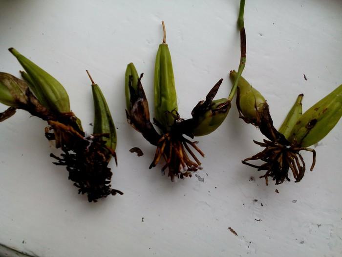 Выращивание орхидей из луковиц из вьетнама 63