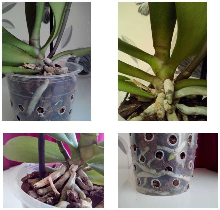 Орхидея: пересадка, уход и выращивание в домашних условиях