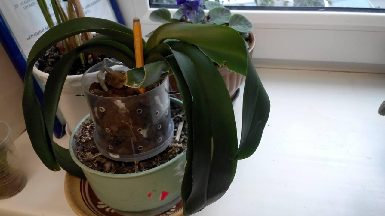 Как поливать пересаженную орхидею
