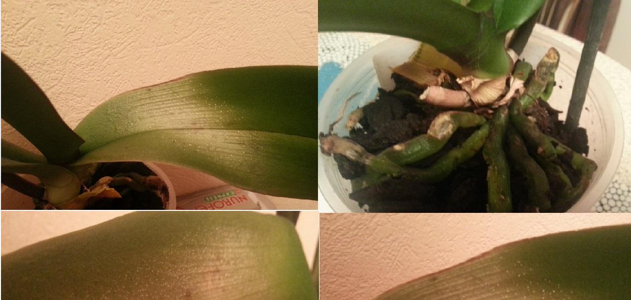 Когда подкормить орхидею фаленопсис