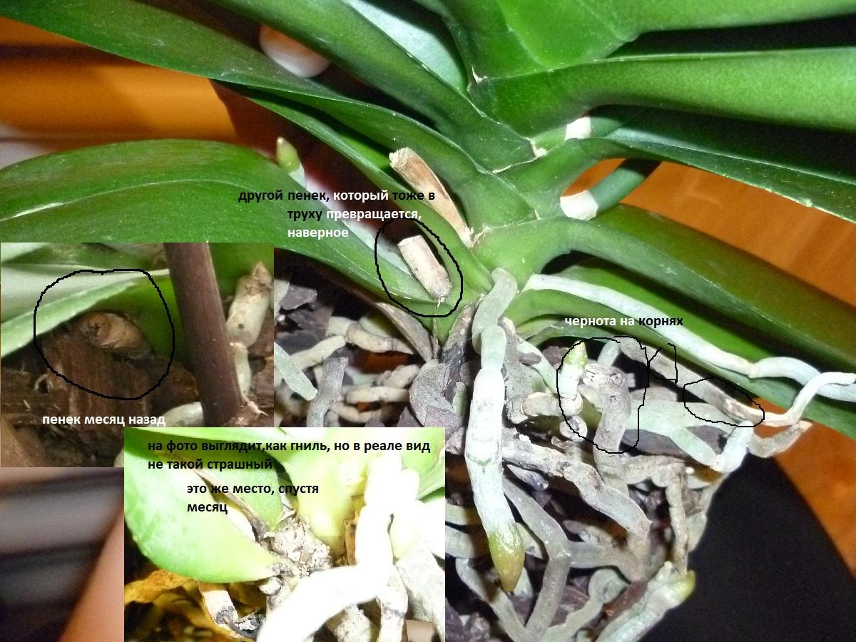Пересаживаем орхидею в домашних условиях пошаговая инструкция фото