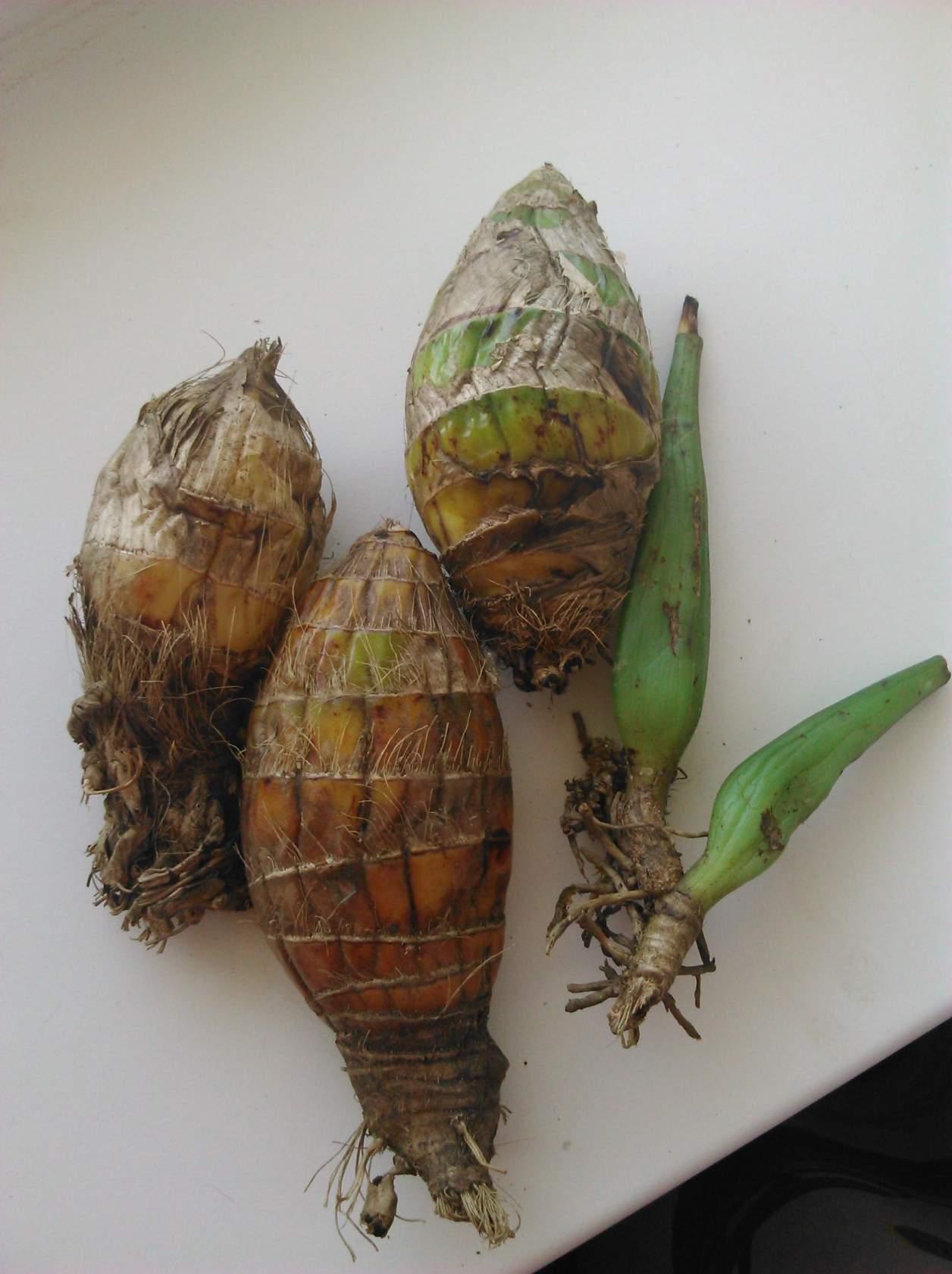 Выращивание орхидей из луковиц из вьетнама 36