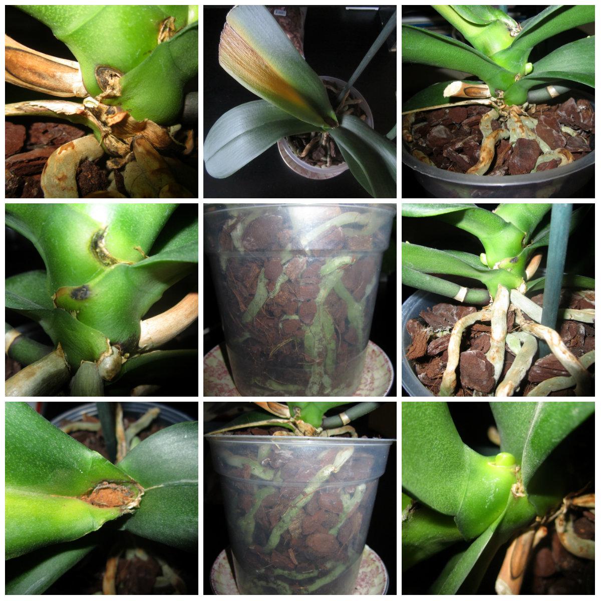 Как сделать цветонос у орхидеи 645