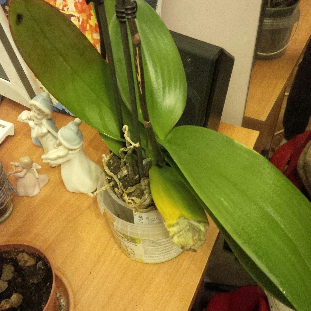 Как поливать орхидею в домашних условиях? Особенности полива 66