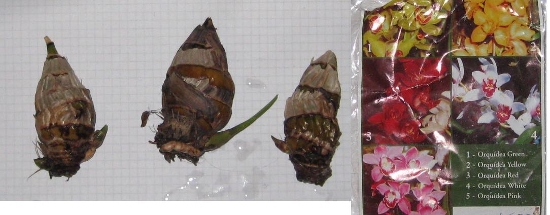 Выращивание орхидей из луковиц из вьетнама 4