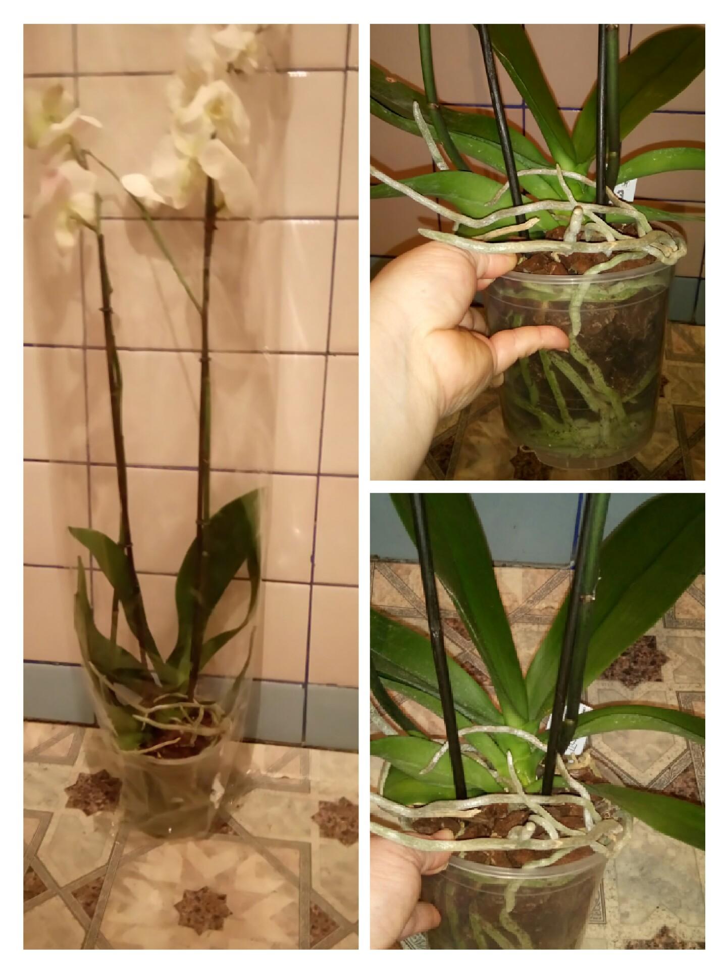 Обрезка орхидей уход за орхидеями в домашних условиях 414