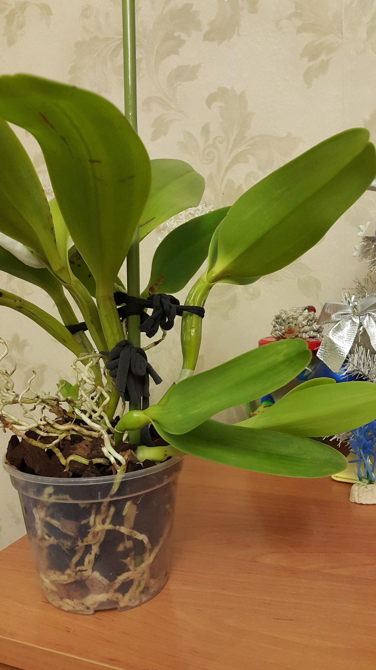 Орхидеи и их размножение в домашних условиях